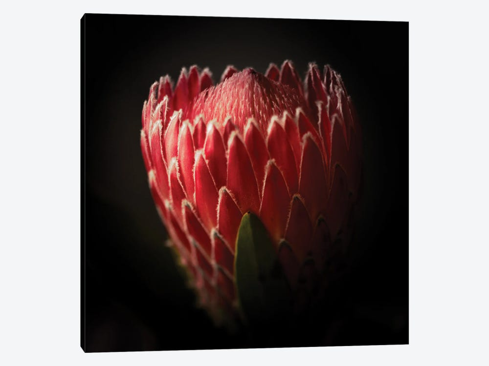 Close Up View Of A Protea Flower by George Oze 1-piece Canvas Art Print