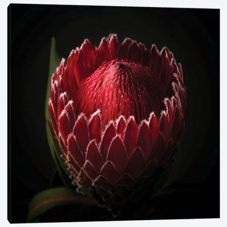 Close Up View Of A Red Protea Flower Head Canvas Print #GOZ466} by George Oze Canvas Art