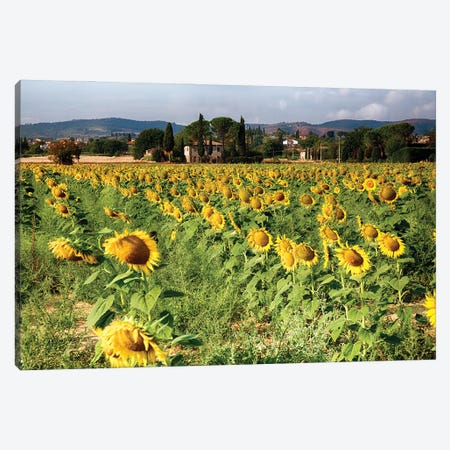 Sunflower Field In Tuscany, Italy Canvas Print #GOZ493} by George Oze Canvas Wall Art