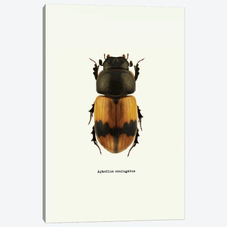 Aphodius Coniugatus Canvas Print #GPH49} by GraphINC Canvas Wall Art