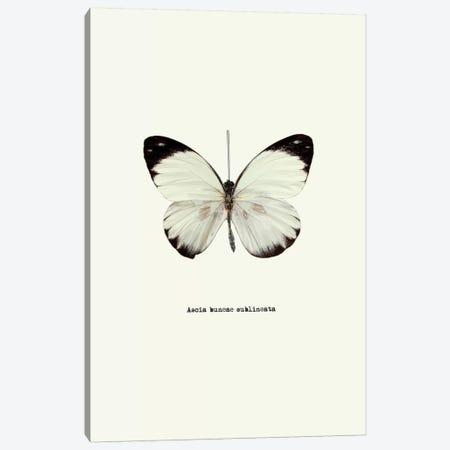 Ascia Buneae Sublineata Canvas Print #GPH50} by GraphINC Art Print