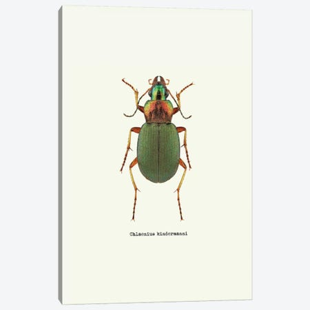 Chlaenius Kindermanni Canvas Print #GPH52} by GraphINC Canvas Print