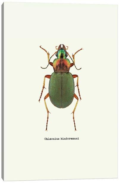 Chlaenius Kindermanni Canvas Art Print