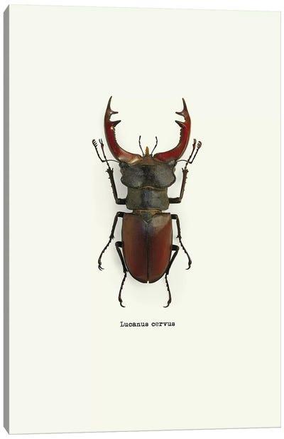 Lucanus Cervus Canvas Art Print