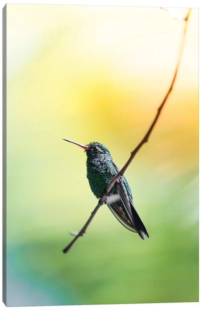 Hummingbird of Honduras Canvas Art Print