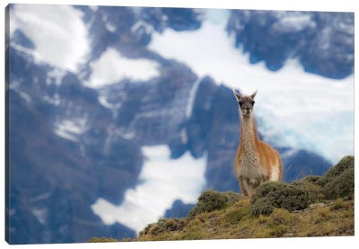 Chile, Guanaco Canvas Art Print