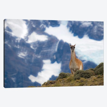 Chile, Guanaco Canvas Print #GTH11} by George Theodore Canvas Wall Art