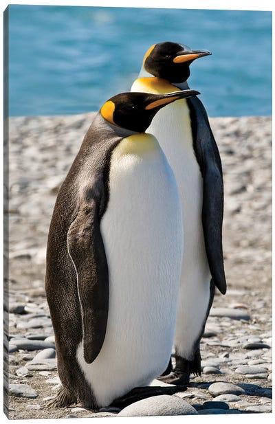 penguin, King, pair Canvas Art Print