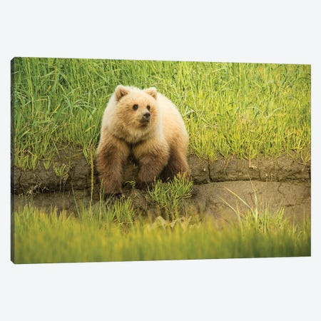 USA, Alaska, Grizzly Bear Cub Canvas Print #GTH16} by George Theodore Canvas Art Print