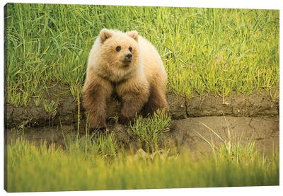 USA, Alaska, Grizzly Bear Cub Canvas Art Print
