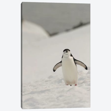 Antarctica, Chinstrap, Penguin Canvas Print #GTH2} by George Theodore Canvas Art