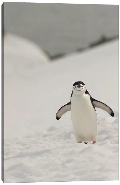 Antarctica, Chinstrap, Penguin Canvas Art Print