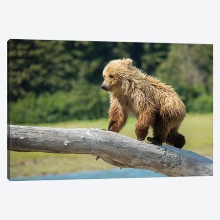 Grizzly Bear Cub, USA, Alaska Canvas Print #GTH31} by George Theodore Canvas Wall Art