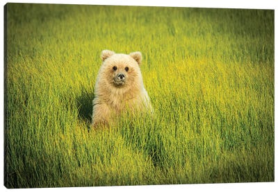 Grizzly Bear Cub, USA, Alaska Canvas Art Print