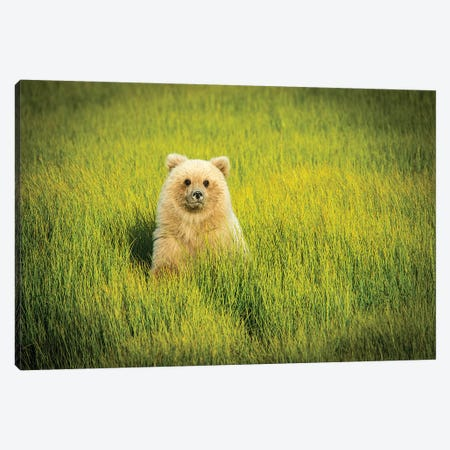 Grizzly Bear Cub, USA, Alaska Canvas Print #GTH32} by George Theodore Canvas Artwork