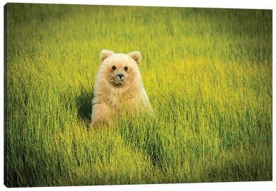 Grizzly Bear Cub, USA, Alaska Canvas Art Print
