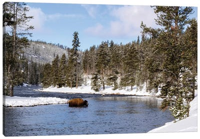Yellowstone National Park, bison crossing river in winter Canvas Art Print