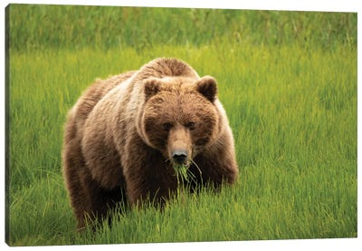 Alaska, Usa. Grizzly Bear Eating Grass. Canvas Art Print