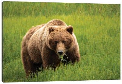 Alaska, Usa. Grizzly Bear Eating Grass. Canvas Art Print