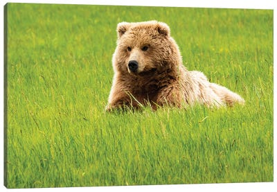 Alaska, Usa. Grizzly Bear On Grass. Canvas Art Print