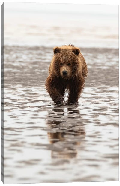 Alaska, Usa. Grizzly Bear Walking Through Mud. Canvas Art Print