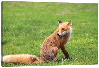 Alaska, Usa. Red Fox On Grass. Canvas Art Print