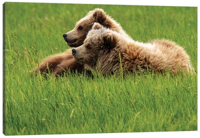 Alaska, Usa. Two Grizzly Bears On Grass. Canvas Art Print
