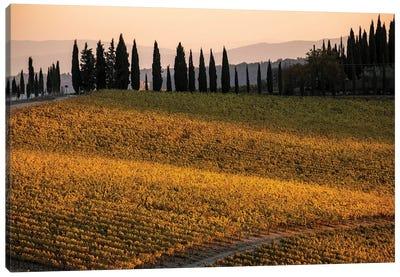 Italy, Tuscany, Vineyard, Late Light Canvas Art Print