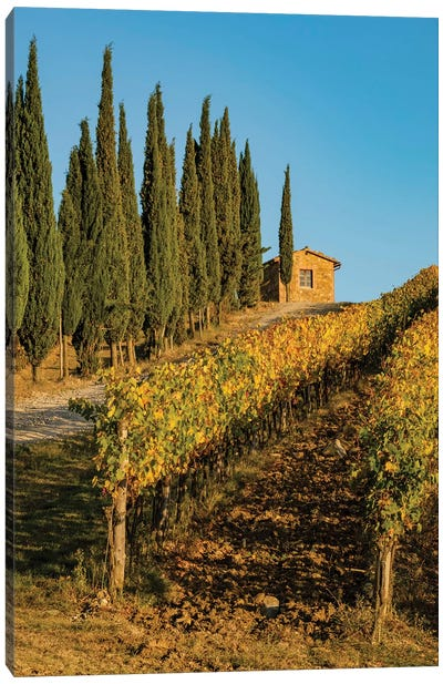 Italy, Tuscany. Vineyard, Pine Trees Canvas Art Print