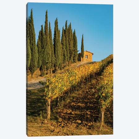 Italy, Tuscany. Vineyard, Pine Trees Canvas Print #GTH50} by George Theodore Canvas Art
