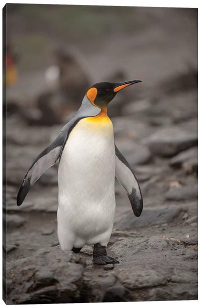 Antarctica, King Penguin, walking Canvas Art Print