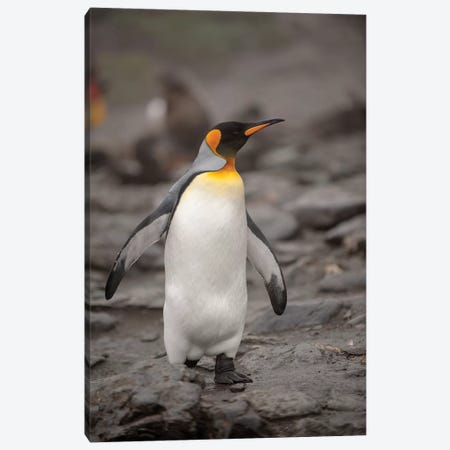 Antarctica, King Penguin, walking Canvas Print #GTH7} by George Theodore Art Print