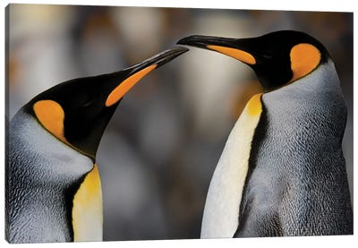 Antarctica, South Georgia, King penguin pair Canvas Art Print