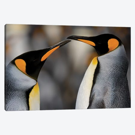 Antarctica, South Georgia, King penguin pair Canvas Print #GTH8} by George Theodore Canvas Art