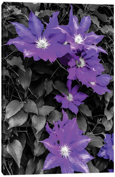 Purple and Grey Clematis Canvas Art Print