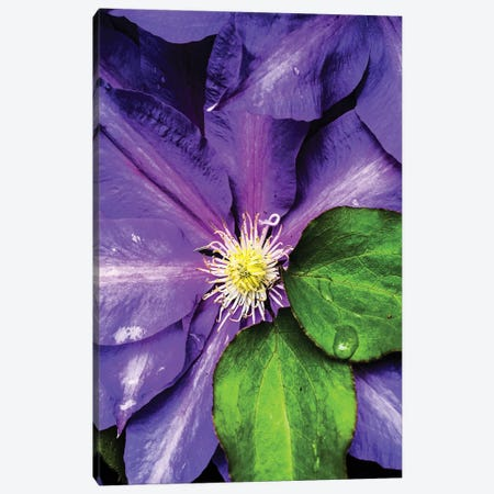 Clematis Spring Canvas Print #HBN8} by Heidi Bannon Canvas Wall Art