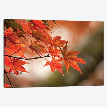 Autumn Leaves Of A Japanese Maple In Zoom Canvas Print #HDD1} by Sheila Haddad Canvas Art