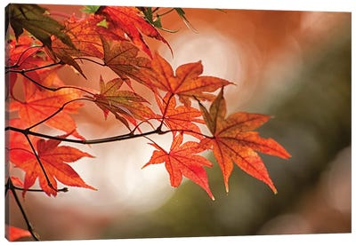 Autumn Leaves Of A Japanese Maple In Zoom Canvas Art Print