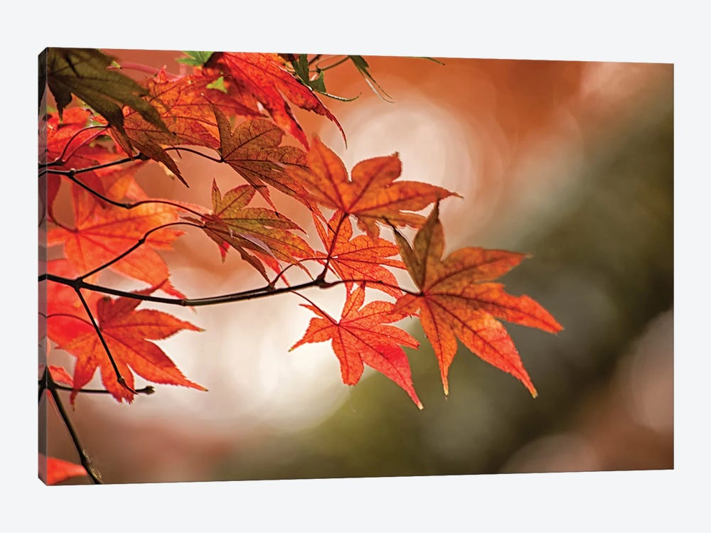 Autumn Leaves Of A Japanese Maple In Zoom by Sheila Haddad 1-piece Canvas Wall Art