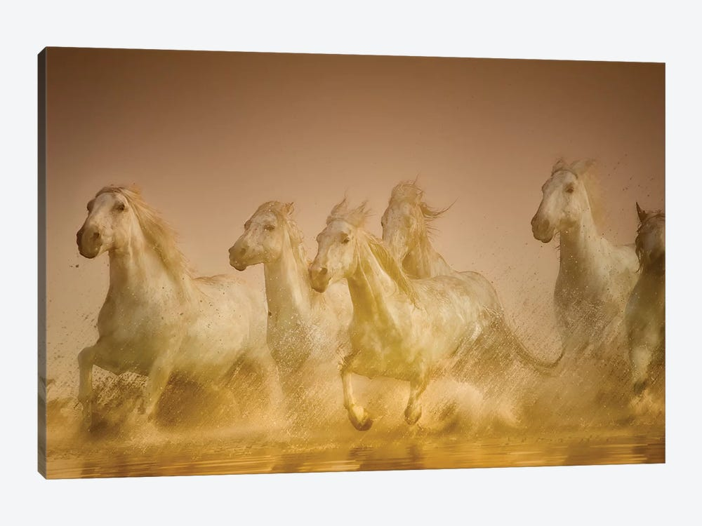 Galloping Herd Of Camargue Horses II, Camargue, Provence-Alpes-Cote d'Azur, France by Sheila Haddad 1-piece Canvas Art Print