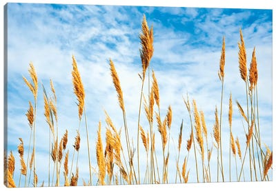 Wheat blowing in the wind Canvas Art Print