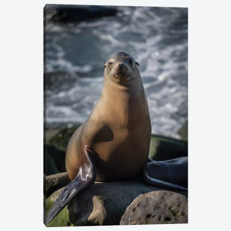 Full view of a sea lion perched on a rock Canvas Print #HDD7} by Sheila Haddad Canvas Art Print