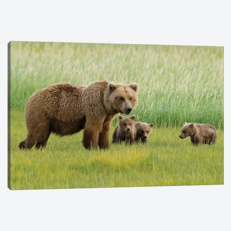 Alaskan Brown Bear Sow And Three Cubs Grazing In Meadow, Katmai National Park, Alaska Canvas Print #HGA3} by Howie Garber Canvas Wall Art