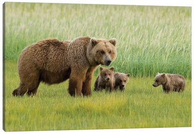 Alaskan Brown Bear Sow And Three Cubs Grazing In Meadow, Katmai National Park, Alaska Canvas Art Print
