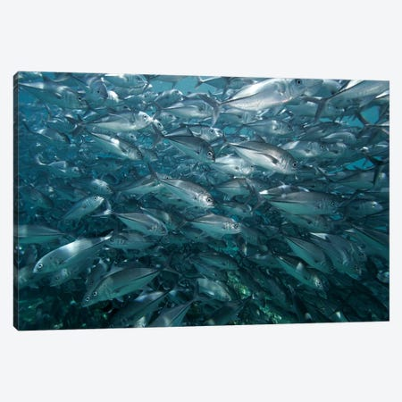 Bigeye Trevally School Swimming Off Sipadan Island, Celebes Sea, Borneo Canvas Print #HIM10} by Hiroya Minakuchi Canvas Artwork