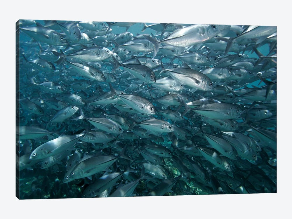 Bigeye Trevally School Swimming Off Sipadan Island, Celebes Sea, Borneo by Hiroya Minakuchi 1-piece Canvas Print