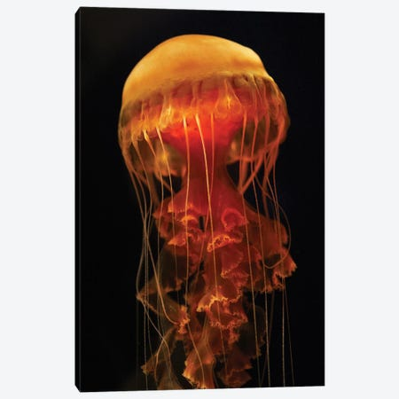 Black Sea Nettle Spreading Tentacles, Aquarium, Japan Canvas Print #HIM11} by Hiroya Minakuchi Canvas Wall Art