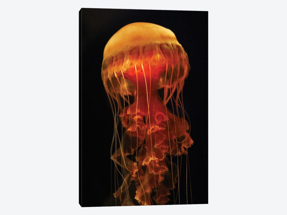 Black Sea Nettle Spreading Tentacles, Aquarium, Japan by Hiroya Minakuchi 1-piece Canvas Art