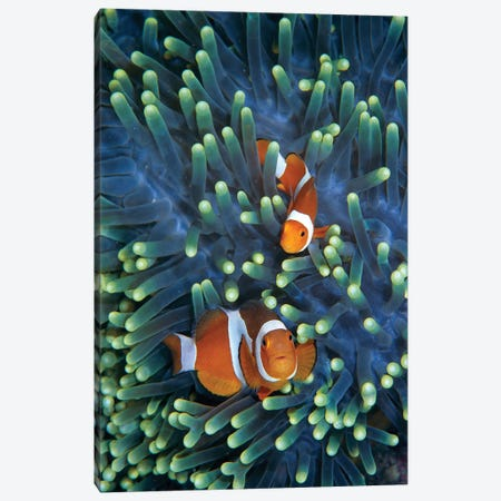 Clown Anemonefish Pair In Sea Anemone Tentacles, Celebes Sea Canvas Print #HIM13} by Hiroya Minakuchi Canvas Art