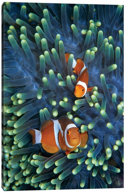 Clown Anemonefish Pair In Sea Anemone Tentacles, Celebes Sea Canvas Art Print